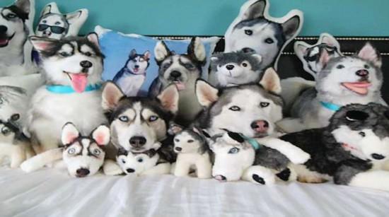 到底几只狗?哈士奇躲在一堆同类玩偶中难辨真假