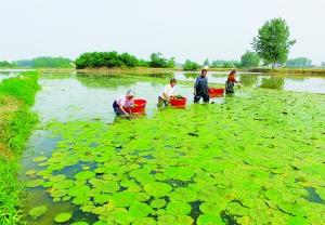 淮安多地规模种植芡实 让农民走上脱贫致富路