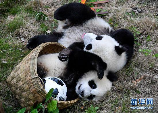 """熊猫""""足球赛"""" 助威世界杯"""