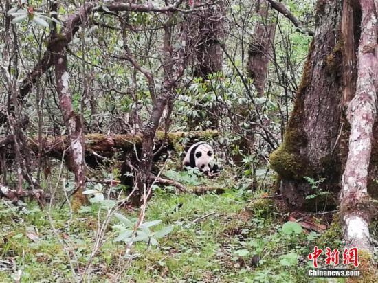 四川黄龙自然保护区第7次发现野生大熊猫踪迹
