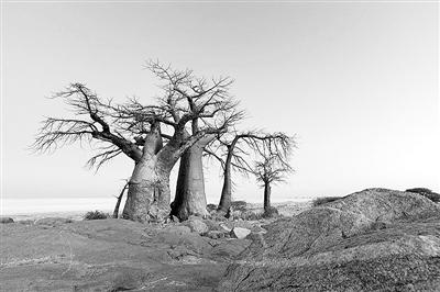 """迄今最大最古老猴面包树经历""""神秘死亡"""""""