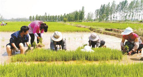 徐州丰县农民忙肥田忙插秧 成6月最美风景