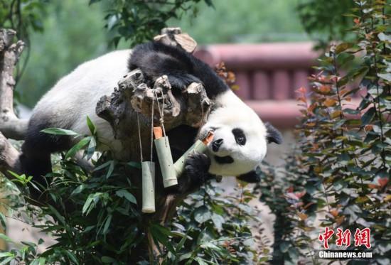 """大熊猫爬上爬下吃""""粽子"""""""