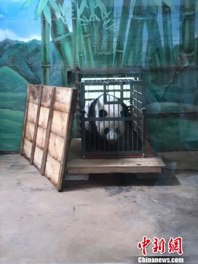 """大熊猫""""伟伟""""寄养武汉十年今日返回老家四川"""