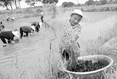 南京桠溪镇村民稻虾共养 一块田两份收入