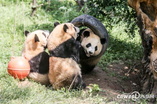 2017年出生于陕西省珍稀野生动物抢救饲养研究中心的三只大熊猫.