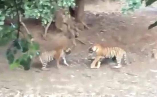印度摄影师拍下罕见雌雄两虎打斗画面(组图)