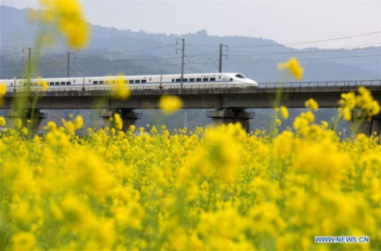 A bullet train is seen above the field of cole flowers in Zhaikou village of Rongjiang county, Southwest China's Guizhou province, Feb 3, 2018. [Photo: Xinhua]