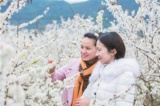 天等县把荷乡把兰村千亩李树竞相开花
