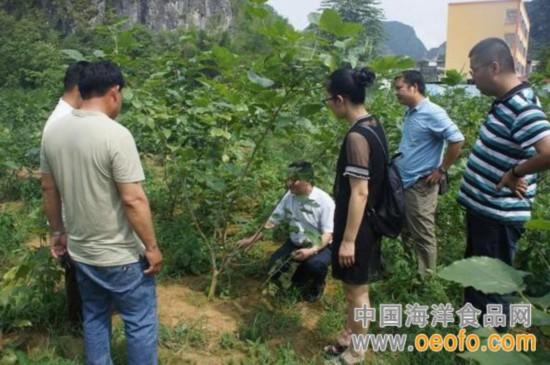 西蚕业技术推总站专家到天等县开展蚕桑生产技术指导(图)
