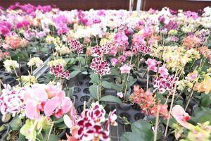 【滚动】淮安一生产基地种出蝴蝶兰销量顶上一个国家