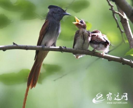 宿迁泗洪观鸟园发现珍贵绶带鸟