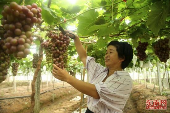 武夷山南源岭村葡萄熟了