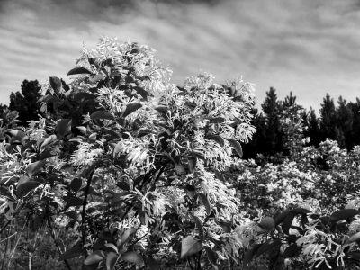 1500株流苏树深山繁育成功将移植到野外山林回归自然