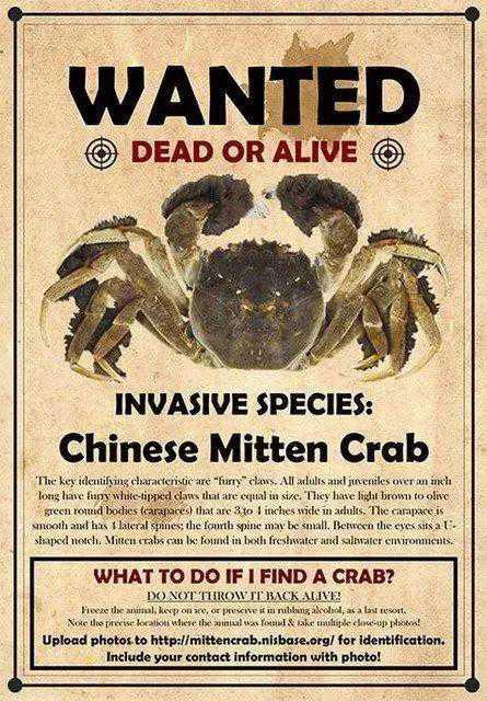 通缉入侵物种!中国大闸蟹!