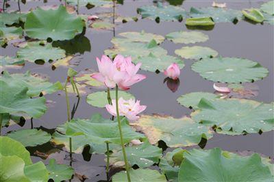 海安七星湖公园荷花绽放 达到最佳观赏期