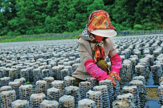 敦化市秋梨沟镇发展木耳产业 今年预计收入近千万元