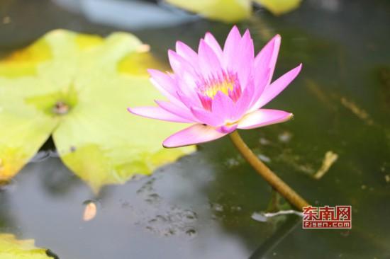 福州茶亭公园荷花盛开 吸引大批拍客前来采风取景