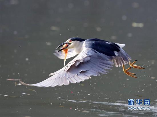 福州:夜鹭出击 湖上捕鱼