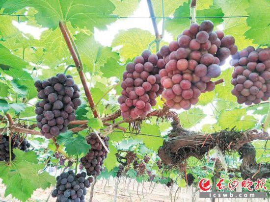 宁乡市夏铎铺镇的三赢农庄,郁郁葱葱的葡萄藤上,圆润饱满的葡萄紫黑发亮。长沙晚报记者 钱娟 摄