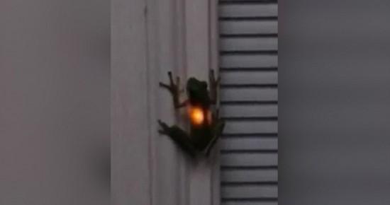 神奇!青蛙吞下萤火虫后胃部闪闪发光(图)