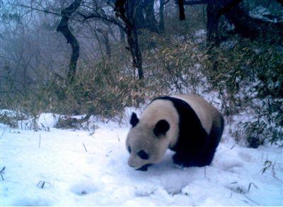黑水河熊猫保镖