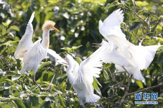 江苏泗洪:鹭鸟枝头舞翩翩