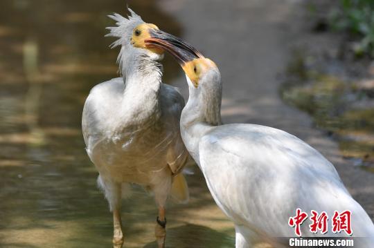 濒危物种朱�q在华南繁育成150多只种群