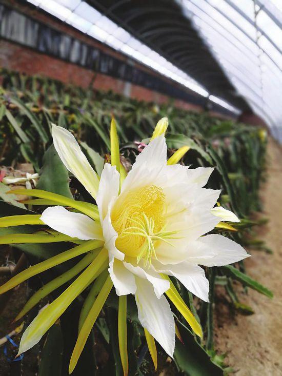 吉林秋彩生态农业科技有限公司的温室内,盛开的火龙果花.