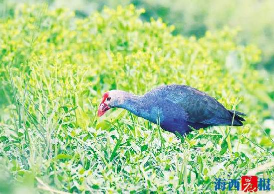 最美水鸟安家厦门翔安 观鸟协会首次记录到紫水鸡繁殖过程
