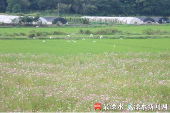 南京晶桥镇新桥河畔百亩鲜花绽放 醉美盛夏