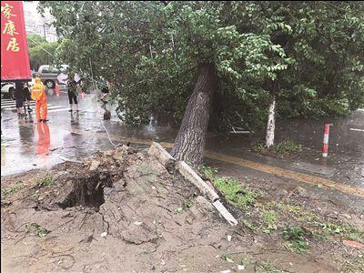 南通一大树被台风刮倒砸中小轿车 无人员伤亡