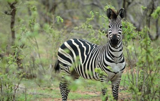 埃及动物园画驴充斑马被游客一眼看穿--陕西频道