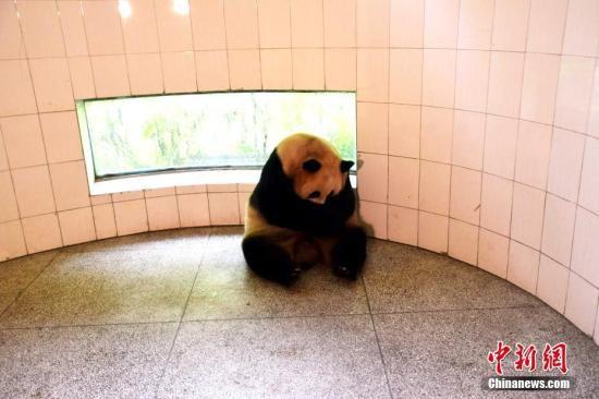 野外引种大熊猫草草产下龙凤胎(图)