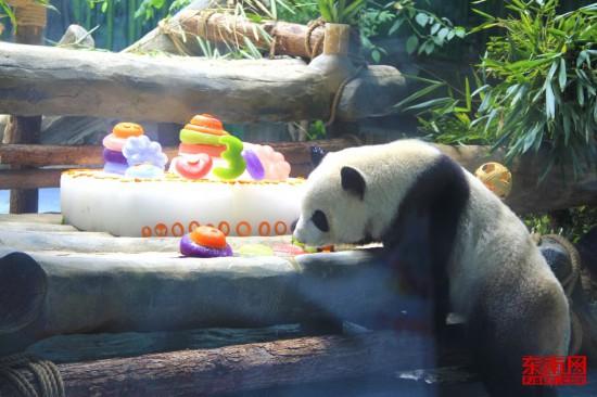 大熊猫双胞胎兄弟在厦过生日 百位寿星齐聚马戏城