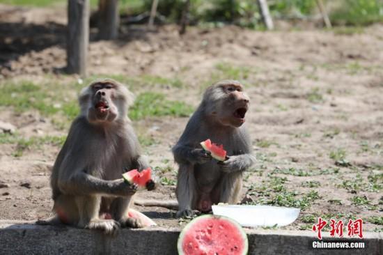 """哈尔滨北方森林动物园""""居民""""吃瓜消暑--陕西频道--网"""