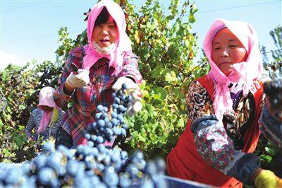 一串串葡萄,将变成美酒佳酿销往各地。本报记者  韩胜利  摄