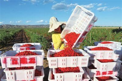 红艳艳的枸杞,承载着宁夏品牌力量。