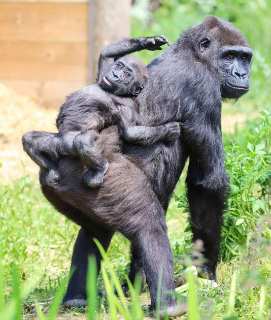 可爱!英顽皮大猩猩幼崽躺妈妈背上找美食