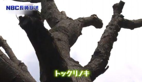 天然纪念物 昆士兰瓶树