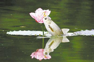 鱼儿也附庸风雅 四川现鱼吃荷花奇景
