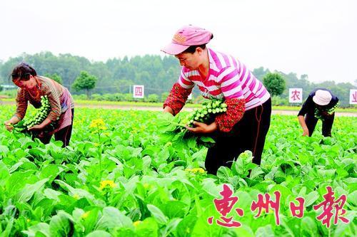 ▲菜农在惠阳区蔬菜现代农业产业园采摘蔬菜。