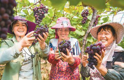 南昌罗亭镇葡萄喜获丰收