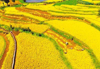 重庆:抢收水稻保丰收
