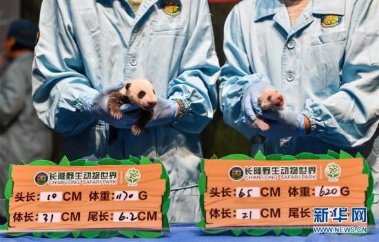 """华南大熊猫基地喜迎""""双宝""""诞生"""