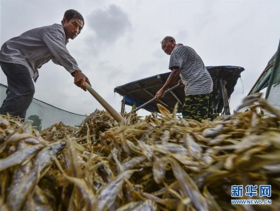 #(经济)(1)洪泽湖毛刀鱼迎来丰收季