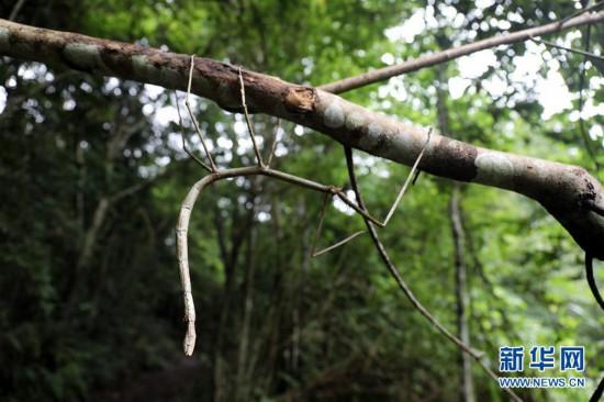 我国科学家首次野外放归世界最长昆虫幼体(组图)