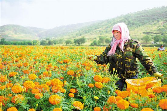 彭阳:万寿菊规模化种植带动致富