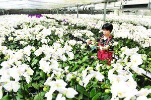 淮安一国家农业科技园蝴蝶兰一年四季开花