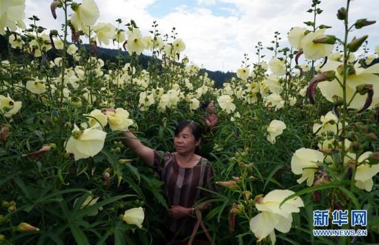 """(社会)(1)江西乐安:""""两业""""扶贫实现全覆盖"""